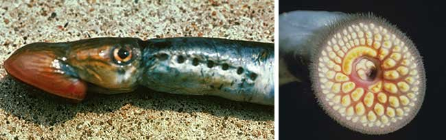 Two views of a Sea Lamprey caught in Lake Huron