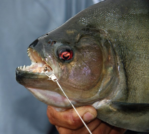 Photo of a piranha caught on the Amazon River