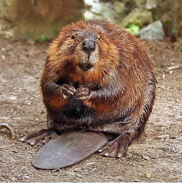Photo of an American Beaver