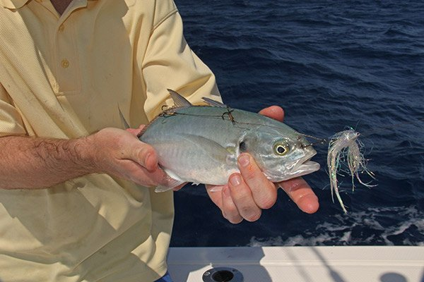 Photo of a blue runner bait fish with a duster