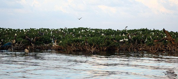 Photo of mangrove trees and pelicans on Cat Island