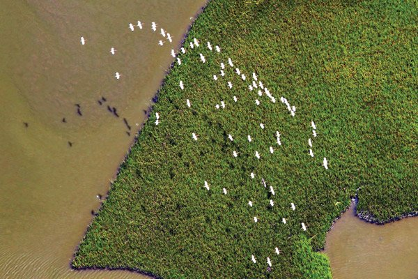 Photo of a flock egrets flying over the Louisiana marsh
