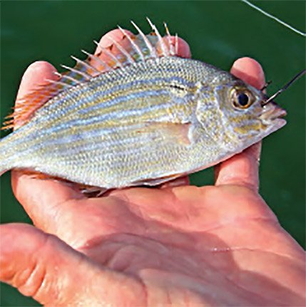 Photo of a pinfish used as bait for snook fishing