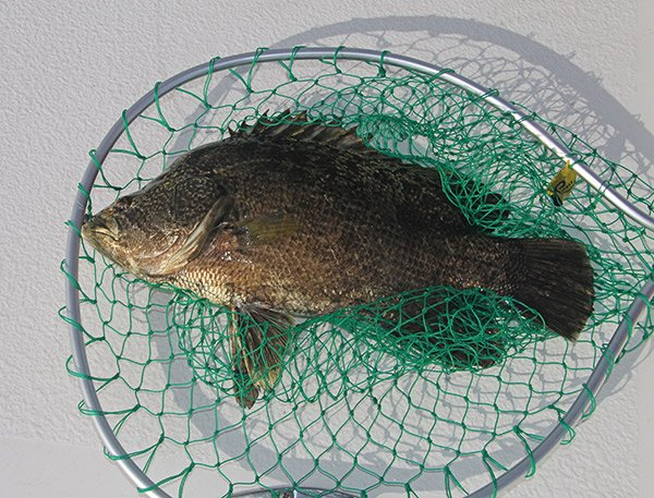 Photo of a tripletail fish in a net