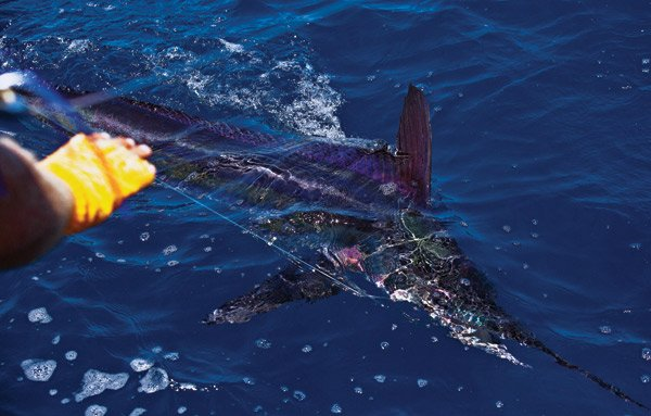 Photo of a white marlin on the line