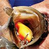 Thumbnail photo of a bass with a Lee Sisson lure in its mouth
