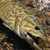 Thumbnail photo of a smallmouth bass in an Ozarks river