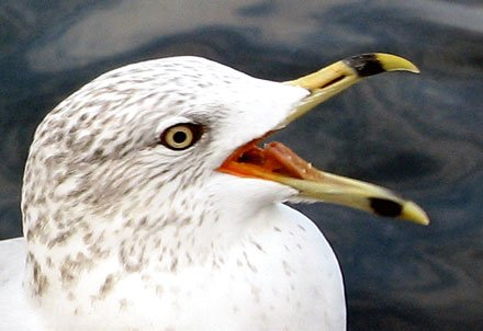 photo of a seagull begging for food