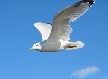 photo of a seagull in flight