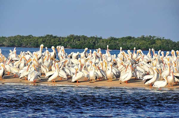 Pelicans and spoonbills abound