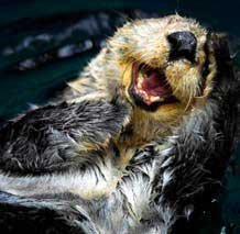 Photo of a laughing otter