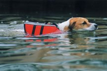 Skipper swimming with a doggie life jacket.