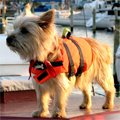 Photo of a small dog in a life jacket